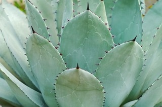 agave-parryi-3011989_960_720.jpg