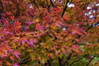 japanese-maple-1892821_960_720.jpg